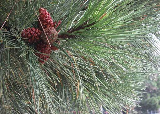 rain-and-pine-bough